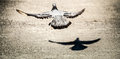 The Rock Dove Flying And His S...