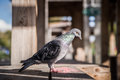 Rock dove rock pigeon sitting on a table wooden Royalty Free Stock Photo