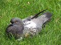 Rock dove sitting in the grass columba livia or Stock Photo