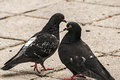 Rock feral pigeon doves two close together on park pavement background Stock Images