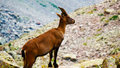 Rock goat Royalty Free Stock Photo