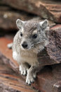 Rock hyrax or cape is a small mammal found in the serengeti tanzania africa Royalty Free Stock Photos