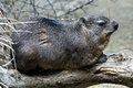 Rock hyrax latin name procavia capensis Stock Images
