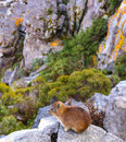 Rock hyrax two on the mountains in south africa Stock Images
