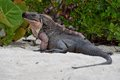 Rock Iguana Royalty Free Stock Photo
