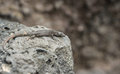 Rock lizard black resting on volcano stone Royalty Free Stock Images
