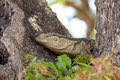 Rock Monitor Lizard Royalty Free Stock Photo