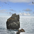 A rock in the ocean with seagull nests colony of seagulls nesting on an on Stock Photos