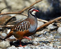 Rock patridge; greek partridge Stock Photo