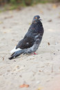 Rock Pigeon Royalty Free Stock Photo