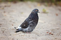 Rock Pigeon Stock Image
