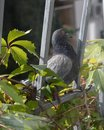 Rock pigeon outside the window Royalty Free Stock Photo