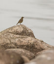 Rock pipit an eurasian anthus petrosus appears in it s most typical habitat formed by rocks and stones near to a mayor water body Stock Images