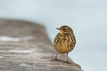 Rock pipit a stop on the pier in ventes ragas during autumn migration Royalty Free Stock Photos