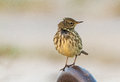 Rock pipit a stop on the pier in ventes ragas during autumn migration Stock Photos