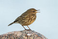 Rock pipit a stop on the pier in ventes ragas during autumn migration Stock Photography