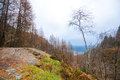 Rock plateau and small birch tree surrounded by a larch forest Royalty Free Stock Photo