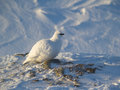 Rock ptarmigan arctic spitsbergen the lagopus muta is a medium sized gamebird in the grouse family Stock Images