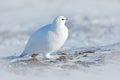 Rock Ptarmigan, Lagopus mutus, white bird sitting on snow, Norway. Cold winter, north of Europe. Wildlife scene in snow. White bir Royalty Free Stock Photo
