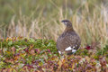 Rock ptarmigan which sits on the banks of the tundra Royalty Free Stock Photo