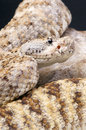 Rock rattlesnake crotalus mitchellii pyrrhus the is a cryptic sublime camouflaged snake species from the southern united states Stock Photos