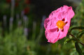 Rock rose flower bright pink in the home garden cistus x purpureus purple Stock Image