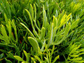 Rock samphire (Crithmum) - Edible wild plant Royalty Free Stock Photo