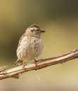 Rock sparrow perching on branch a petronia petronia a horizontal Stock Images