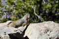 Rock squirrel az grand canyon usa Stock Images