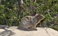 Rock Squirrel Royalty Free Stock Photo