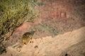 Rock Squirrel South Kaibab Trail Grand Canyon Royalty Free Stock Photo
