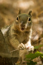 Rock Squirrel Stare Royalty Free Stock Photo