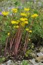 Rock stonecrop sedum forsteranum limestone plant Royalty Free Stock Image