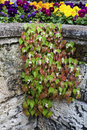 Rock wall begonia a flowering plant growing between the cracks in a Stock Images