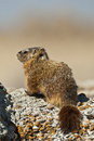 Rockchuck  (Marmota caligata) Royalty Free Stock Image
