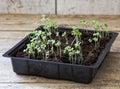 Rocket seedlings Royalty Free Stock Photo