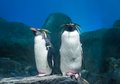 Rockhopper penguin Stock Images
