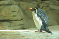 Rockhopper penguin Stock Photos