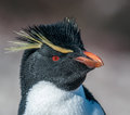 Rockhopper penguin cute close up Royalty Free Stock Images