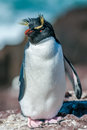 Rockhopper penguin cute little funny Stock Images