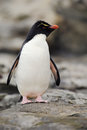 Rockhopper penguin, Eudyptes chrysocome, in the rock nature habitat. Black and white sea bird, Sea Lion Island, Falkland Islands. Royalty Free Stock Photo