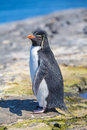 Rockhopper Penguin (Eudyptes chrysocome) on rocks. Royalty Free Stock Photo