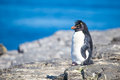 Rockhopper Penguin (Eudyptes chrysocome) on rocks in colony Royalty Free Stock Photo