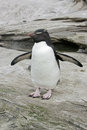 Rockhopper penguin eudyptes chrysocome single bird on rock falklands Royalty Free Stock Photography