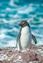 Rockhopper penguin little cute on the sea shore Royalty Free Stock Image
