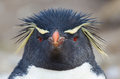 Rockhopper penguin looks directly at camera with a spiky headdress in the falkland islands Royalty Free Stock Image