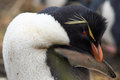 Rockhopper Penguin Preening Royalty Free Stock Photo