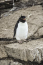 Rockhopper Penguin on the rock Stock Photo