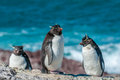 Rockhopper penguins cute small over blue ocean Royalty Free Stock Images
