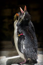 Rockhopper penguins eudyptes chrysocome on the dark background Royalty Free Stock Image